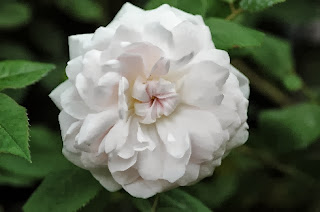 beautiful white rose: Shailer's White Moss Centifolia, photo credit http://www.schmid-gartenpflanzen.de/