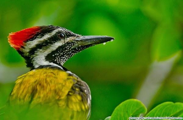 Foto Burung Pelatuk Batu Terbaik