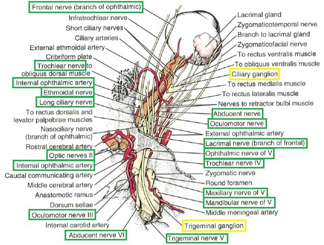Eye Opener Anatomy Nerves Of The Eye