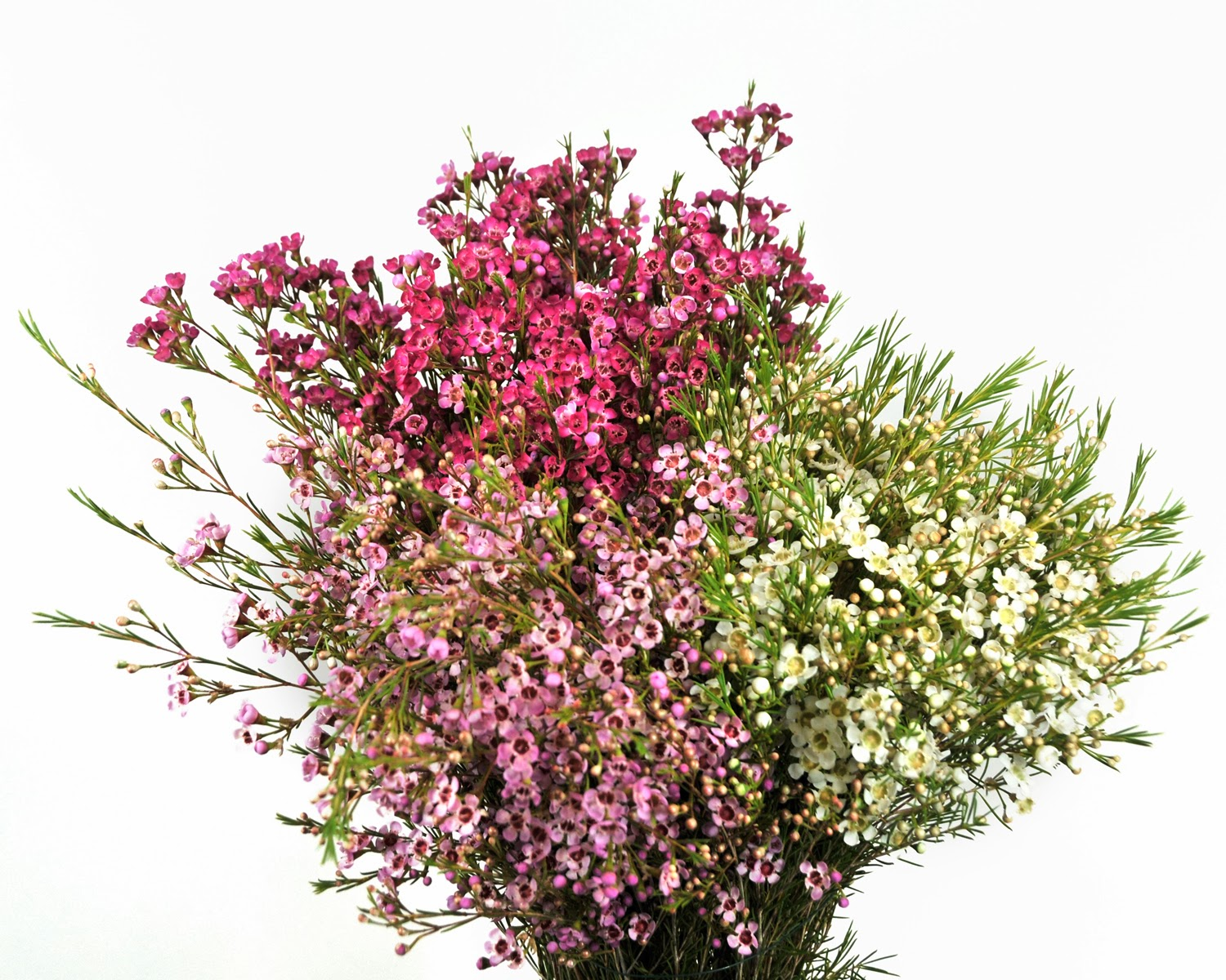 Wax Now Harvesting Waxflower