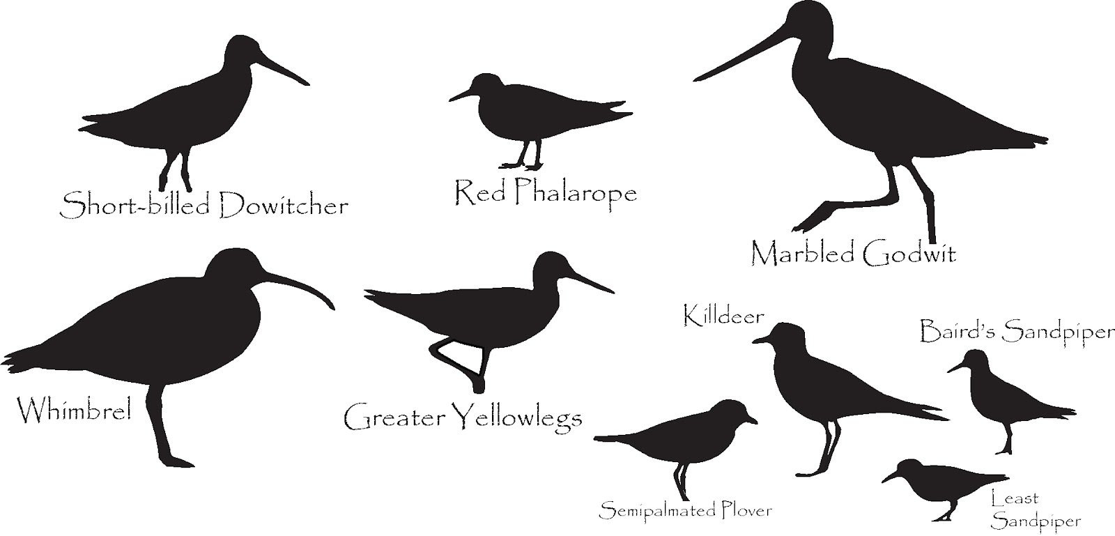 shorebird identification silhouette answers nutty birder