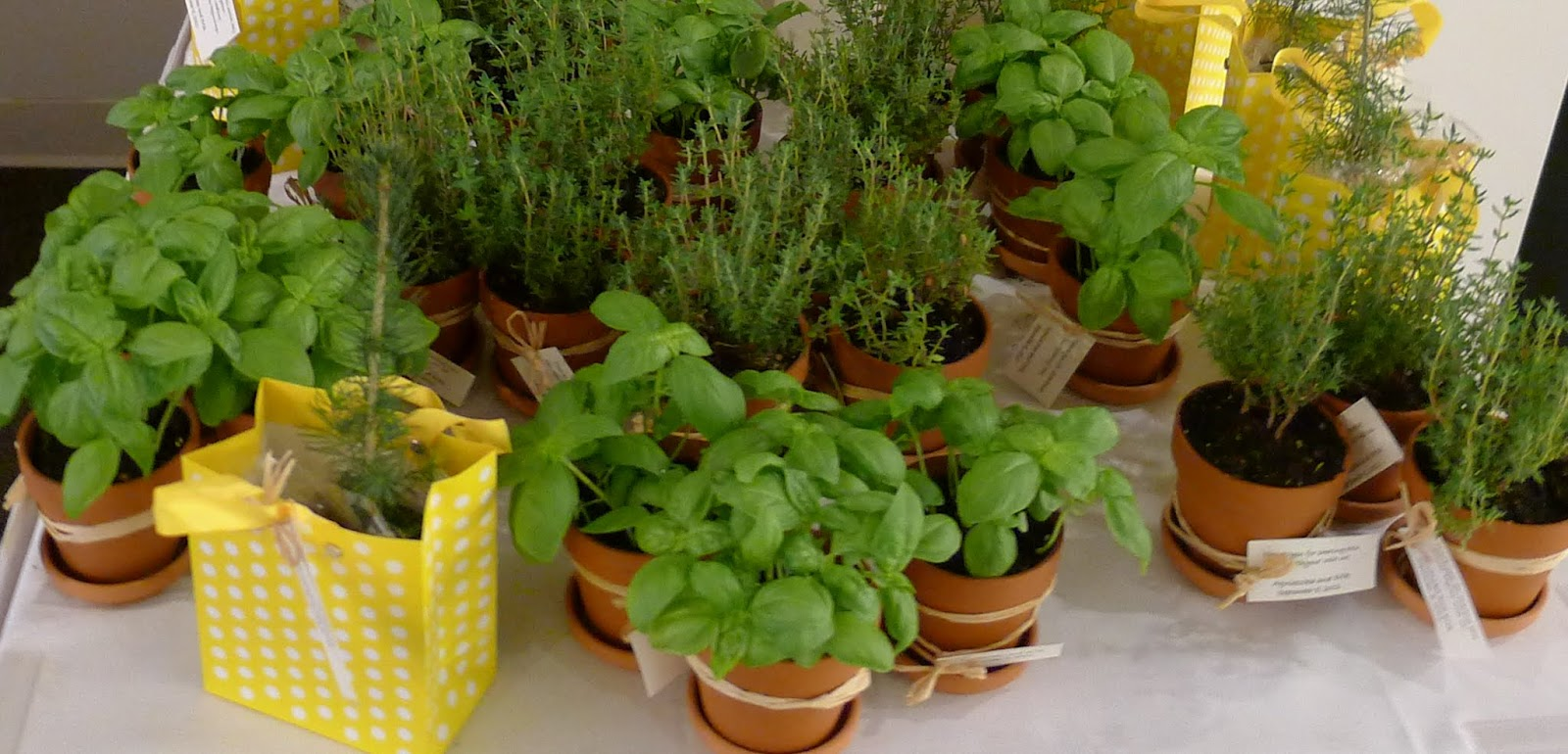 Backyard garden thyme basil spruce tree seedling wedding favors - Aromatic herbs pots multiple benefits ...