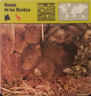 Blog Safari Club, el Conejo de las Ryukyu, es uno de los más escasos conejos salvajes