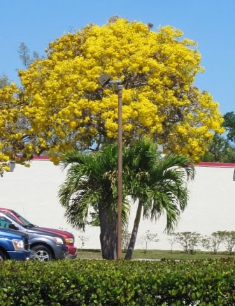 Roberts tropical paradise garden spring in south florida this ubiquitous tree can be seen throughout south florida as a specimen in front of private homes and hugging the sides of commercial buildings mightylinksfo Choice Image