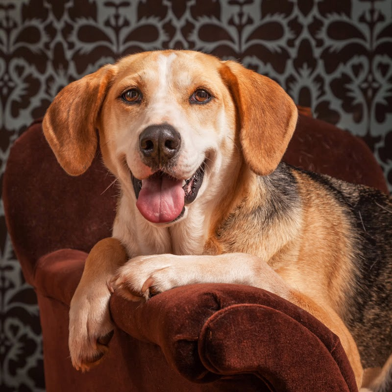 A happy foxhound-beagle cross sits on a chair