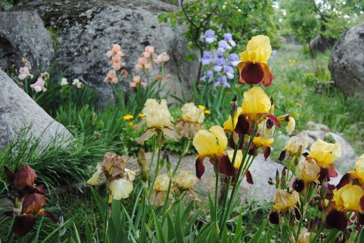 El jard n de los dragones cultivo de iris for El jardin de los dragones