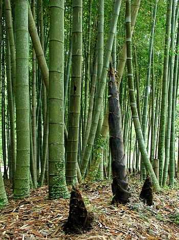 Especiesdeespaciosenconstrucci n placa de bamb estructural - Cultivo del bambu ...