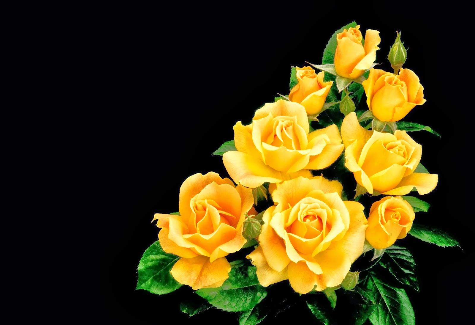 All 4u hd wallpaper free download beautiful yellow rose - Yellow rose images hd ...