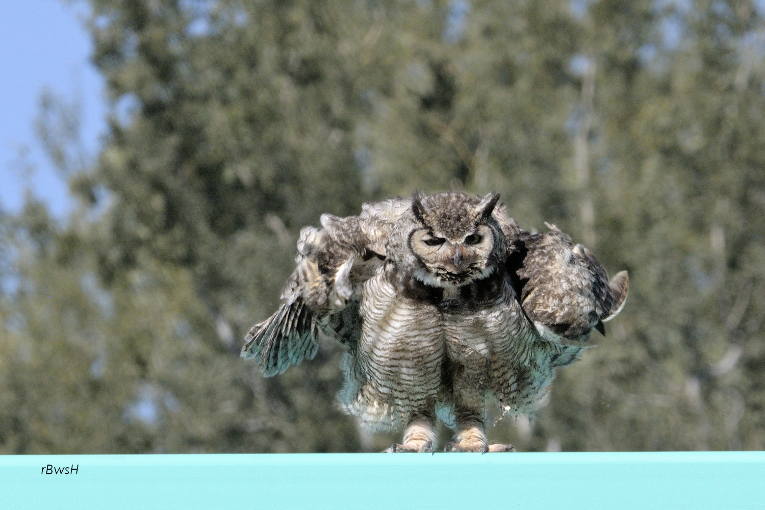 Great horned owl taking off - photo#9