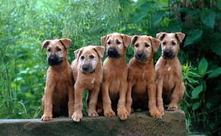 Irish Terrier Puppy Picture