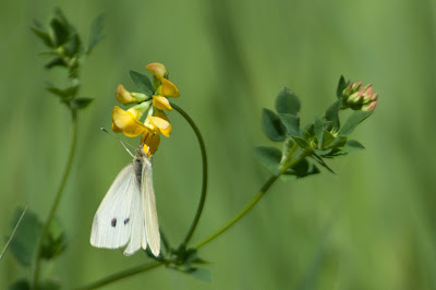 Cabbage White Butterfly, Kountze Lake