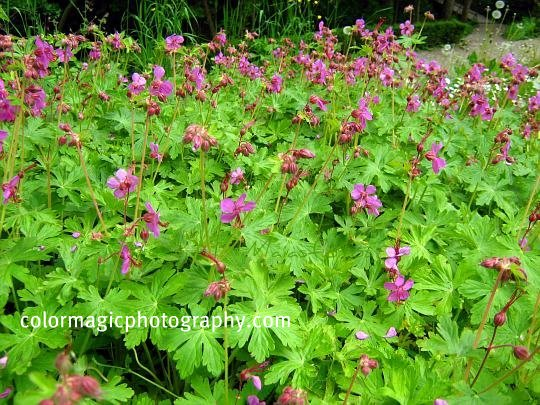 Geranium macrorrhizum-ground cover photo