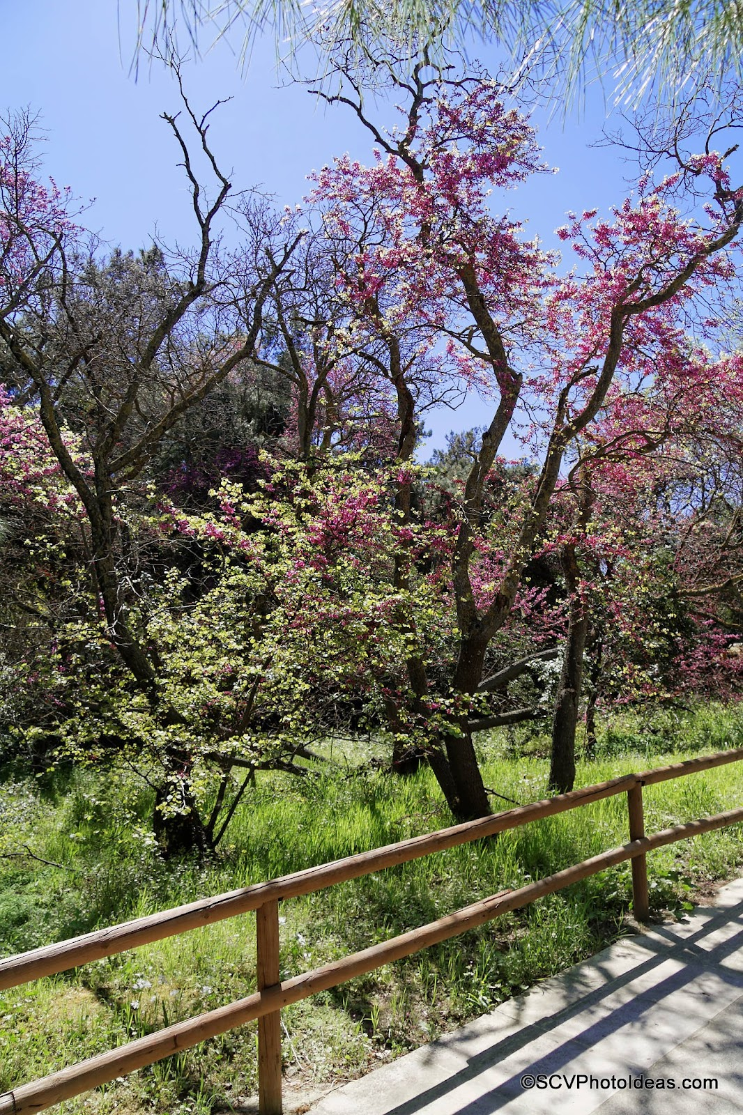 Blossoming Almond Tree on the road side