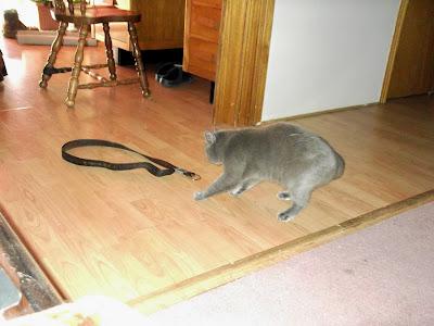 grey cat gives belt a swack