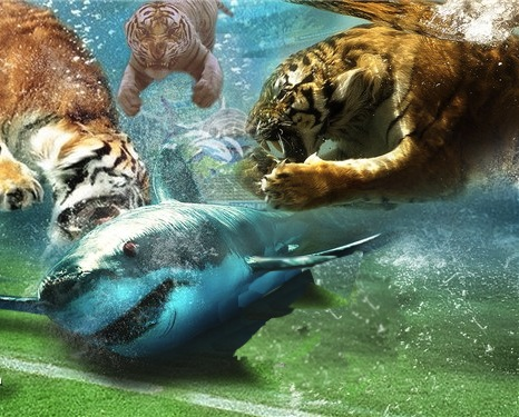 essay the tiger vs the shark Tiger sharks the tiger shark, galeocerdo cuvier, is a large (up to 18ft) predator found in tropical and subtropical waters world wide tiger sharks are one of the.