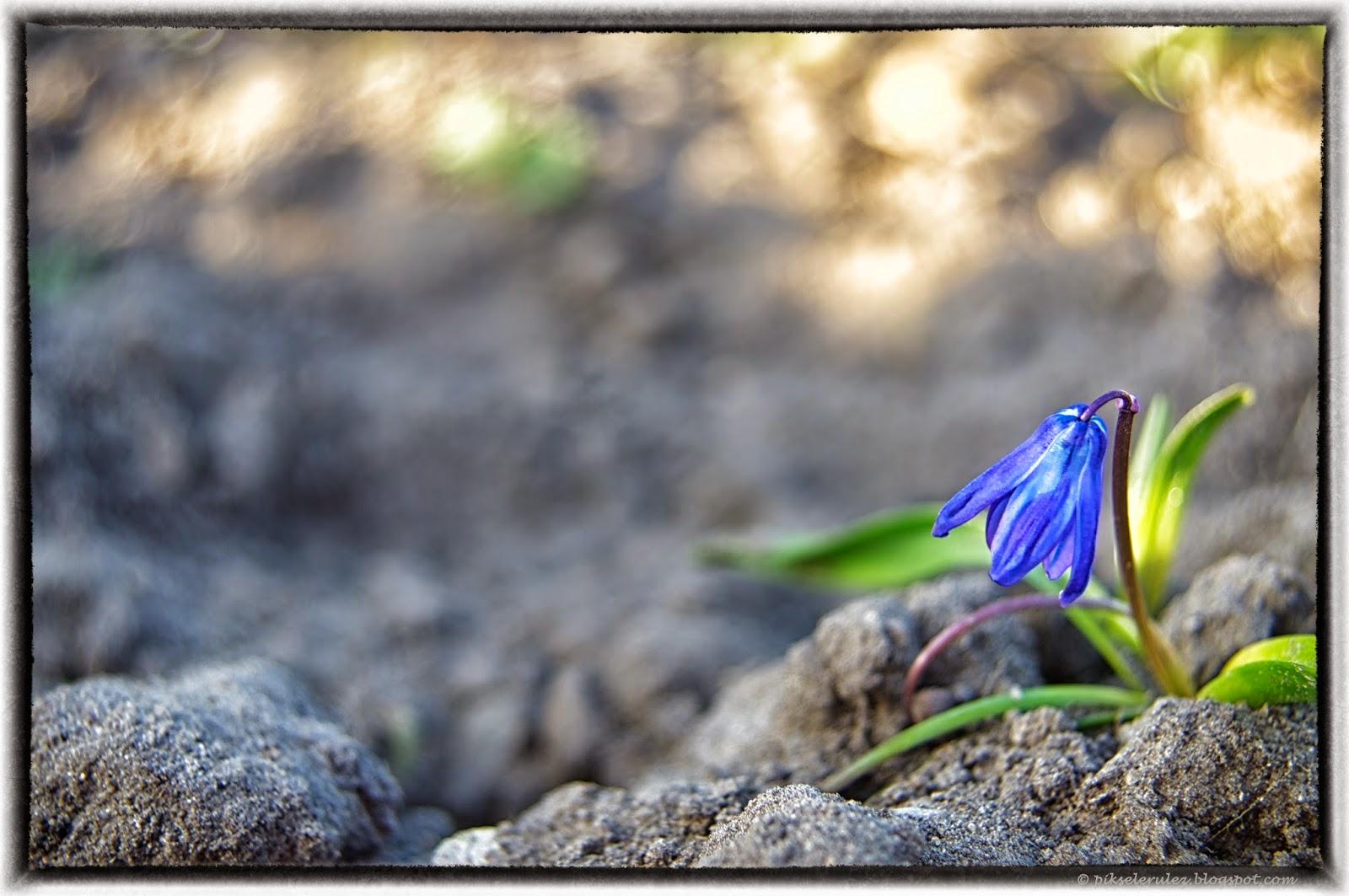 cud, kwiat, wiosna. niebieski