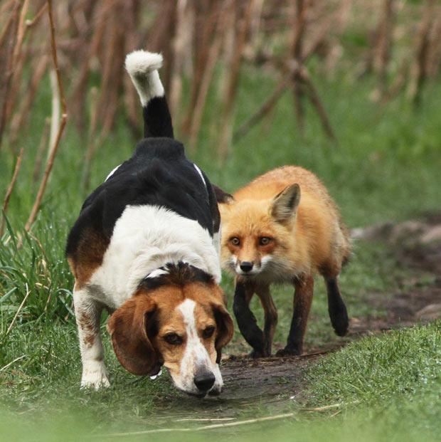 Caçador de raposas