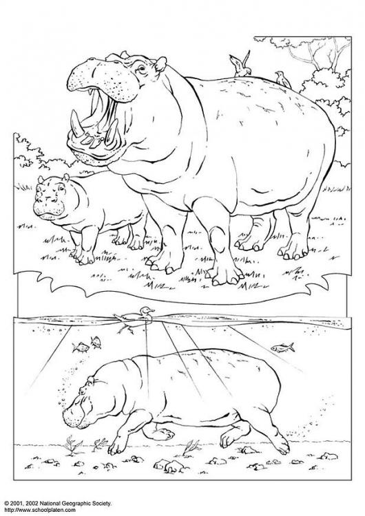 Desenhos para Colorir Hipopótamo
