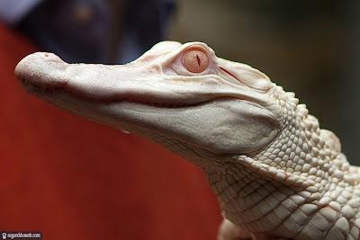 Images droles et étranges Animal - Crocodile v43