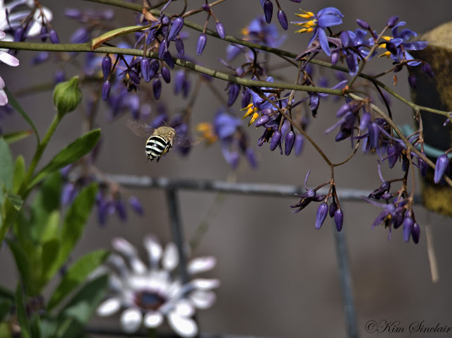 how to make blue banded bee homes