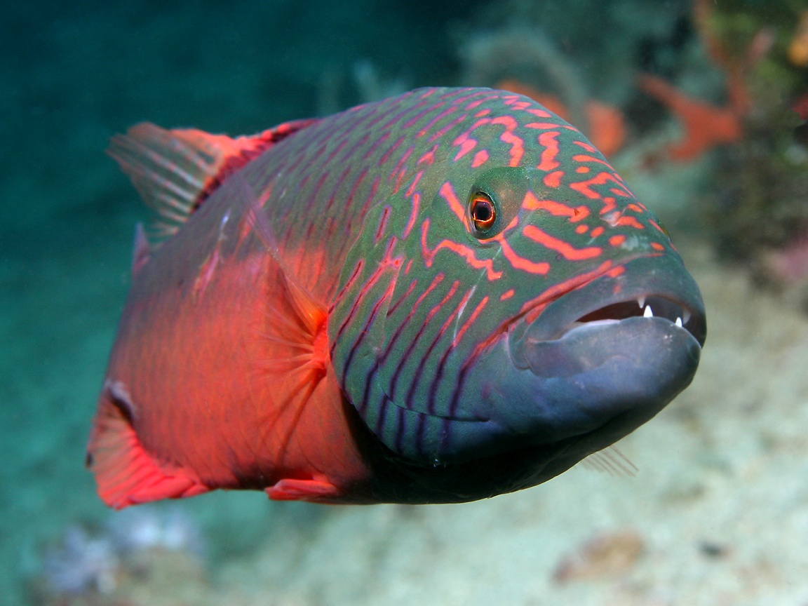 Wrasse the life of animals for Are fish animals