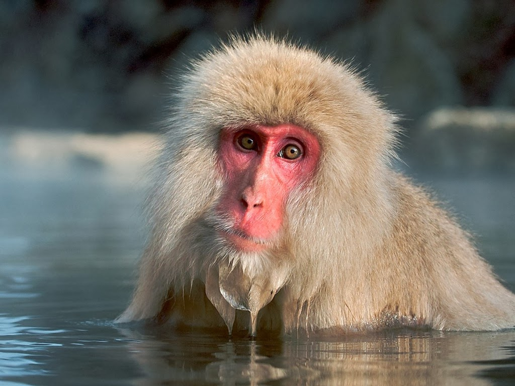 "<img src=""http://2.bp.blogspot.com/--iBsUheL0oc/UtkOeu2AJvI/AAAAAAAAIdE/C7mw2poR89w/s1600/animal-wallpapers-primates-japanese.jpeg"" alt=""japanese monkey"" />"