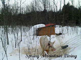 pig husbandry winter cold at spring mountain living