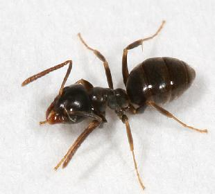 the extremely annoying sugar ant. Black Bedroom Furniture Sets. Home Design Ideas