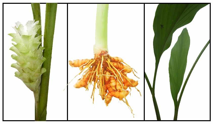 Herbal medicine plant trees amp fruit luyang dilaw