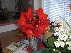 Jouluamarylliksen 6 kukkaa!