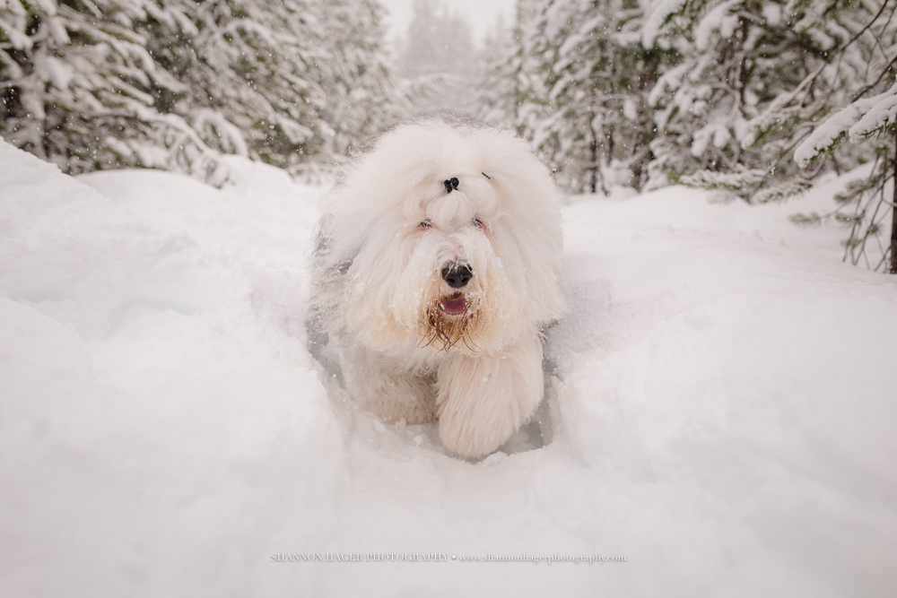 old english sheepdog, snowdowne, mt hood snow dog