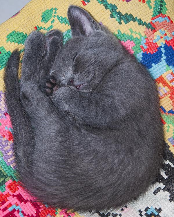 котик спит, милый котик, умиление, пушистый котенок