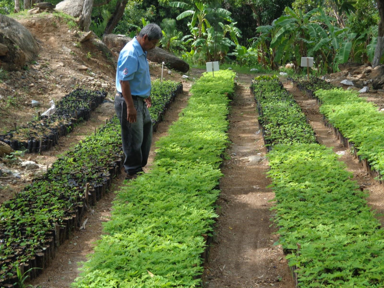 Teculut N Desarrollo En El Proceso De Viveros Forestales
