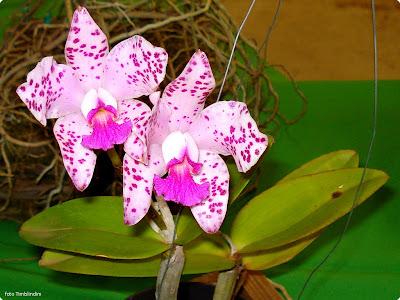 Cattleya amethystoglossa Orchids Flower