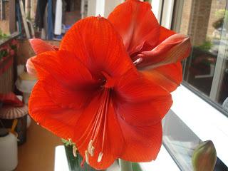Amarilis como alternativa a la flor de pascua - Que cuidados necesita la flor de pascua ...