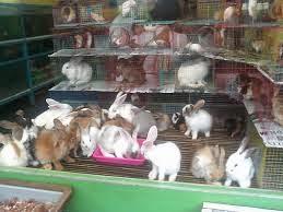 Gambar kelinci yang sedang diternak
