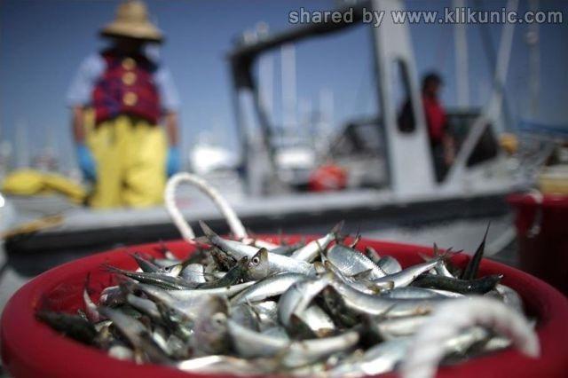http://2.bp.blogspot.com/--jD08roeilY/TXisHv9llYI/AAAAAAAAQvY/SxiOusKPiUQ/s1600/dead_anchovies_640_08.jpg