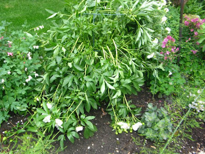 herbaceous peony damaged by wind and rain paul jung toronto organic ecological gardening services