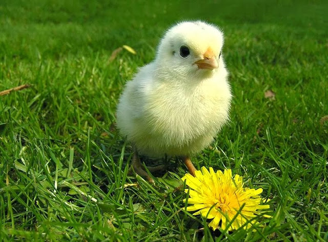 Cute Baby Chick Wallpapers Free Download