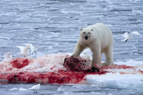 Polar bear eating seal coke - photo#5