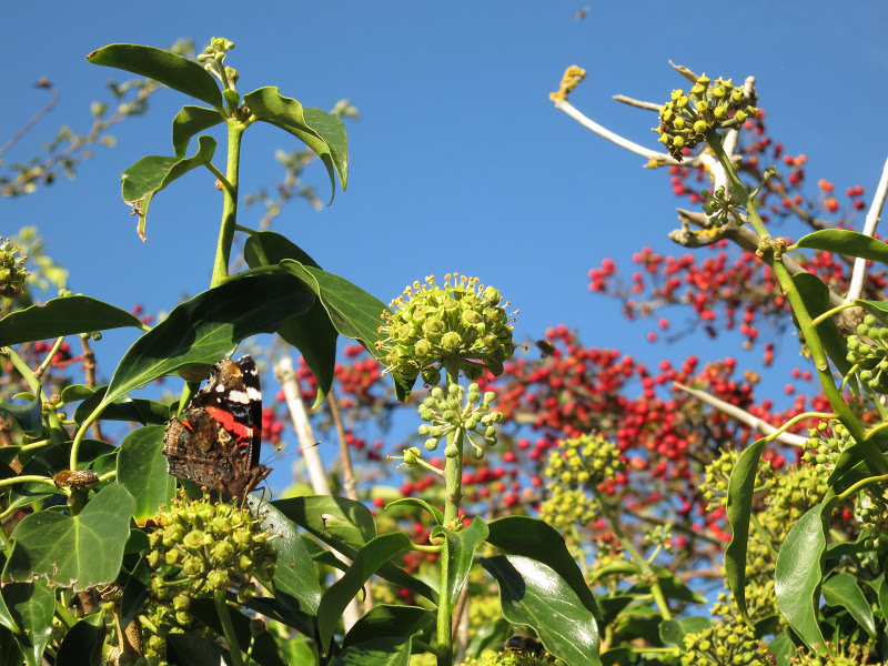 Red Admiral Butterfly, Ivy Flowers and Haws in front of Blue Sky
