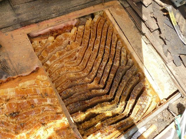 Infestação de abelhas: colmeia gigante embaixo do telhado