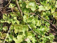 Buckler-leaved sorrel