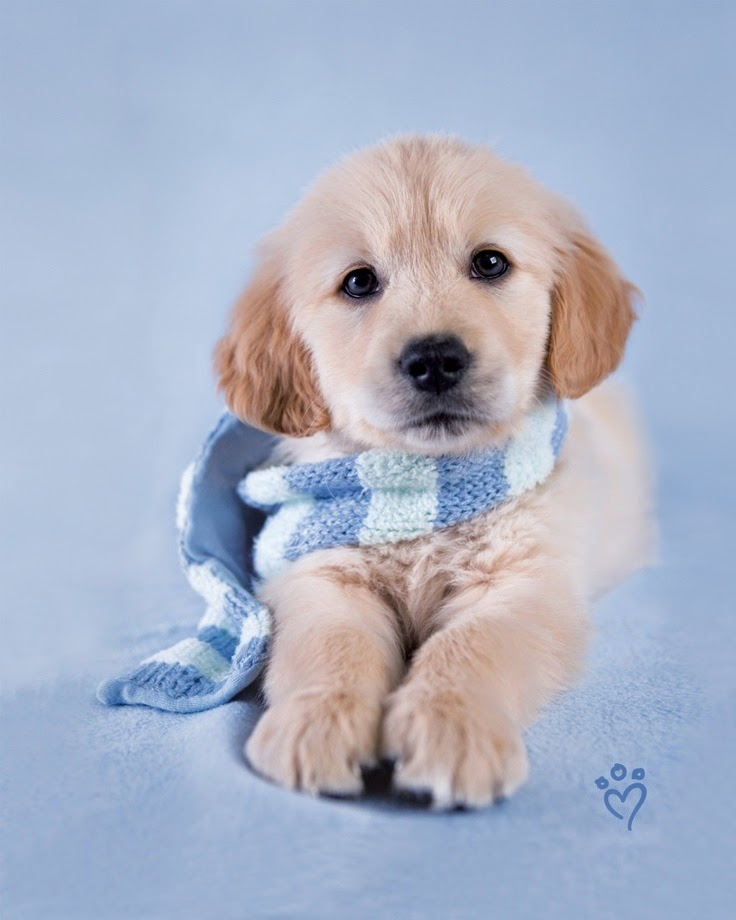 See more Cute golden Dog http://cutepuppyanddog.blogspot.com/