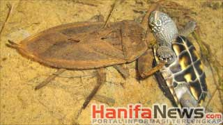 5. Giant Water Bug