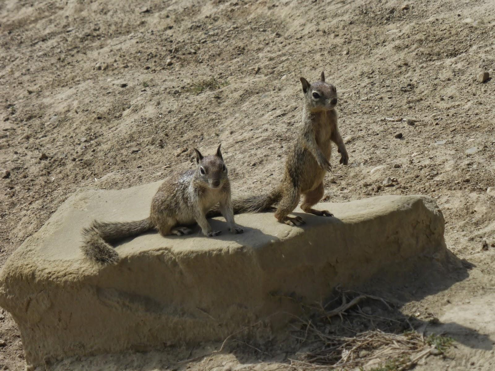 Ardillas, esquiroles y patanegras