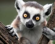 Lemur: http://www.annenbergradio.org/segments/2015/02/root-source-lemur