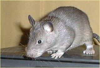 Cara Ampuh Mengusir Tikus dari Rumah