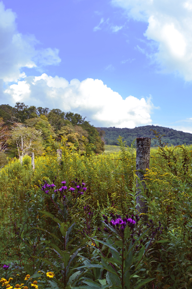 Fence, tall ironweed, goldenrod