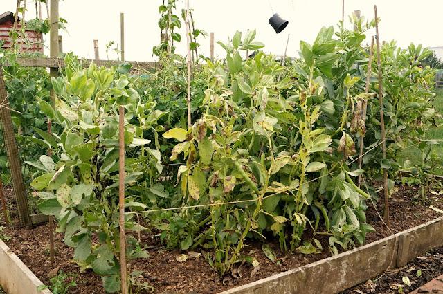 broad beans - 'growourown.blogspot.com' ~ an allotment blog